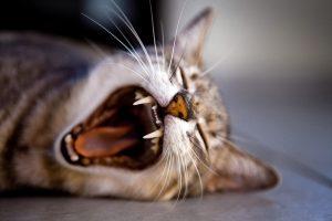 que es el síndrome del maullido de gato